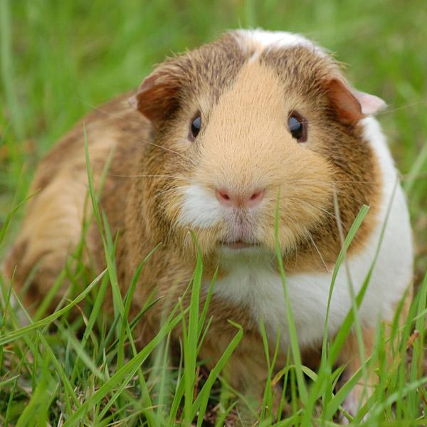 guinea pigs in garden