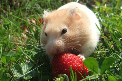 Guinea-Pigs,-Gerbils-&-Hamsters eating starberry