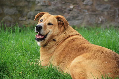 fat dog sitting in summer park