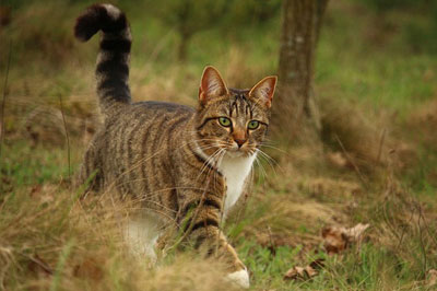 cat with extended tail walking in the garden