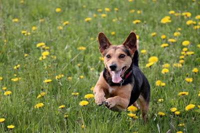A happy, healthy dog running fast in a fields